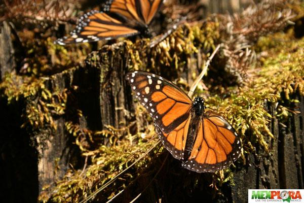 mariposa-monarca-mexplora